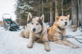 Dog Sledding in Canmore- What You Need to Know